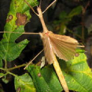 Pink Winged Walking Stick