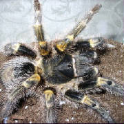 Chaco Gold-knee Tarantula