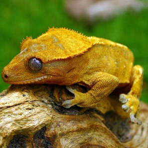 New Caledonia Crested Gecko