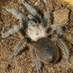 Oklahoma/Texas Brown Tarantula